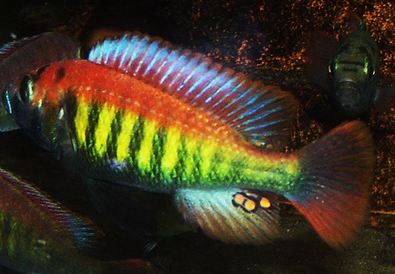 Colorful Cichlid | Out Of Africa Home